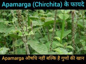 Apamarga or Chirchita Benefits in hindi